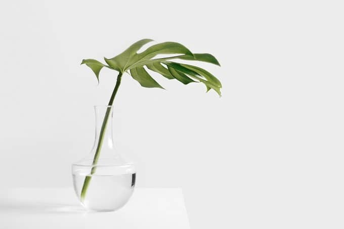 Monstera Stammsteckling